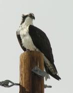 Osprey Wildlife Mitigation Blog