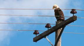 Wildlife-on-power-lines