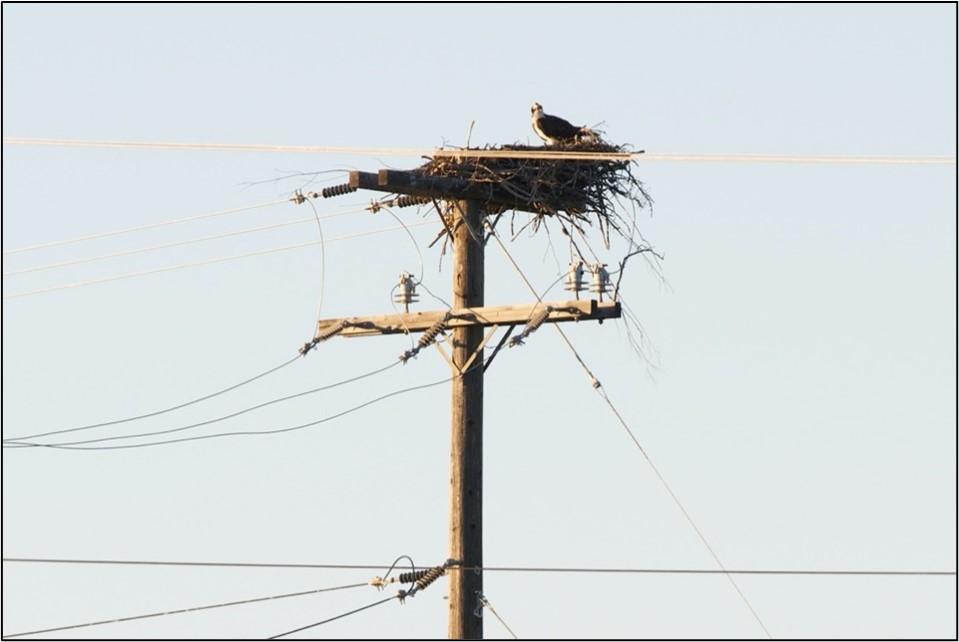 Osprey nests on power poles